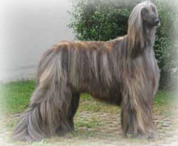 afghan hound the afghan hound is often portrayed as a fragile show dog ...