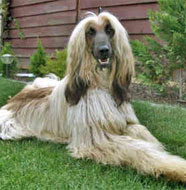 afghan_hound_middle_aged