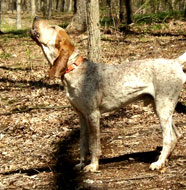american english coonhound older