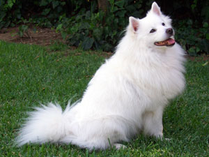 American Eskimo Puppies on American Eskimo Dog Pictures  Information  Training  Grooming And