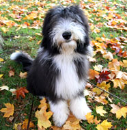 Bearded_Collie_Middle_Aged.jpg
