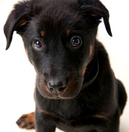 Beauceron_Puppy.jpg