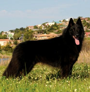 Belgian_Sheepdog_Middle_Aged.jpg