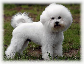 Bichon_Frise_Dog