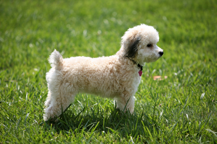 Bichon Frise Puppies on Bichon Frise Pictures  Information  Training  Grooming And Puppies