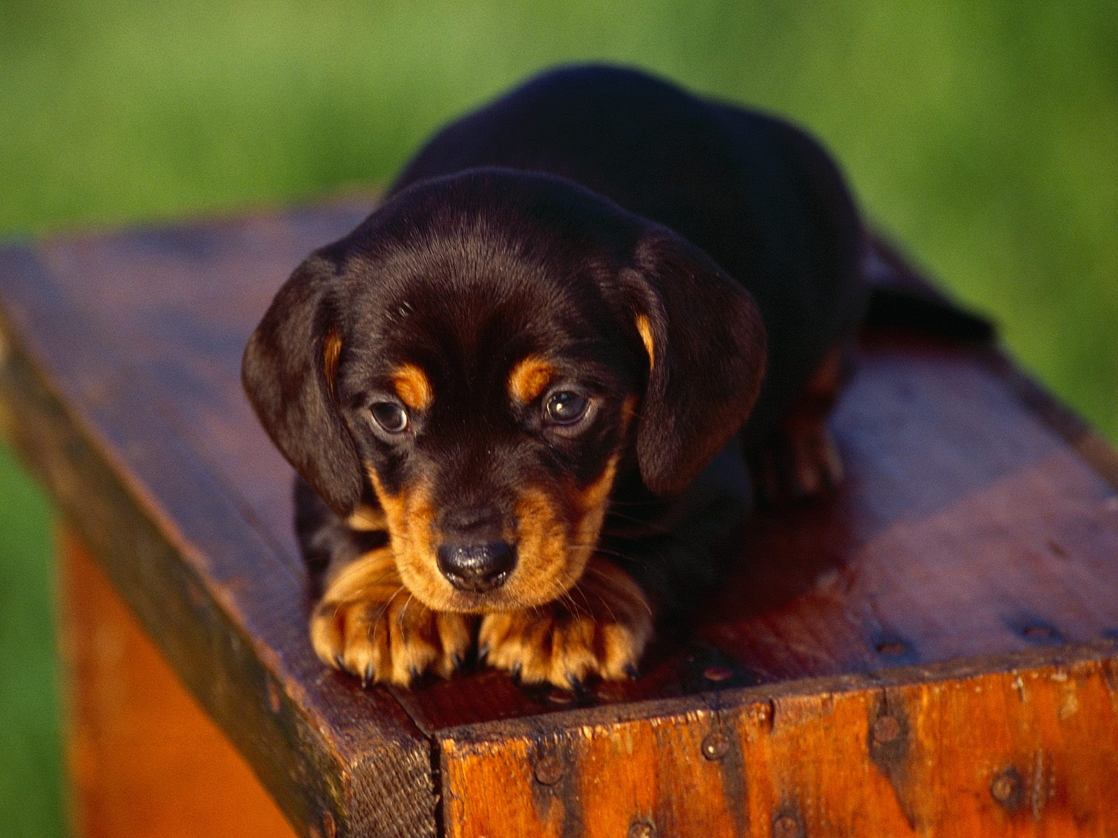 Black_And_Tan_Coonhound_Puppy.jpg