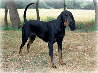 Black_And_Tan_Coonhound_dog.jpg