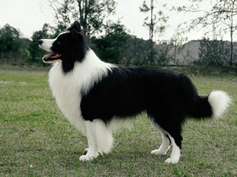 Border Collie pictures, information, training, grooming and puppies.