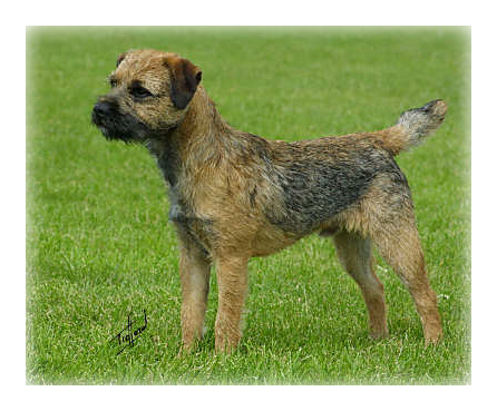 Border_Terrier_Dog