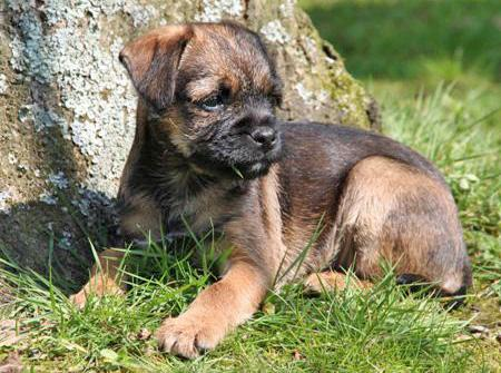 Border Terrier Puppies on Border Terrier Pictures  Information  Training  Grooming And Puppies