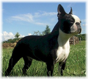 Boston_Terrier_Dog