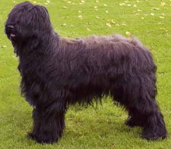 Briard_Middle_Aged.jpg