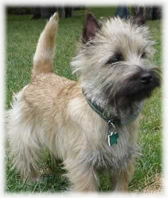 Cairn_Terrier_Dog
