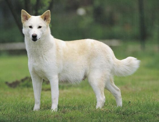 Canaan dog information