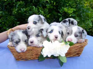 Cardigan Welsh Corgi Pictures Information Training Grooming And