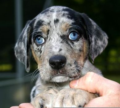 American Leopard Hound: Dogs Dog And Puppies For Sale | animalgals
