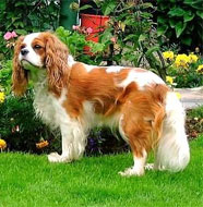 Cavalier_King_Charles_Spaniel_Middle_Aged.jpg