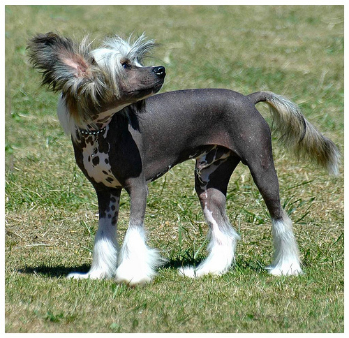 Chinese Crested Dog pictures, information, training, grooming and ...