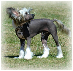 Chinese_Crested_Dog_Dog.jpg