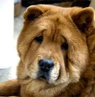 Chow Chow pictures, information, training, grooming and ...