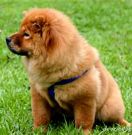 chow chow welfare grooming your pet chow the chow chow