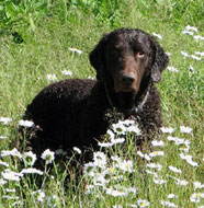 Curly_Coated_Retriever_Middle_Aged.jpg