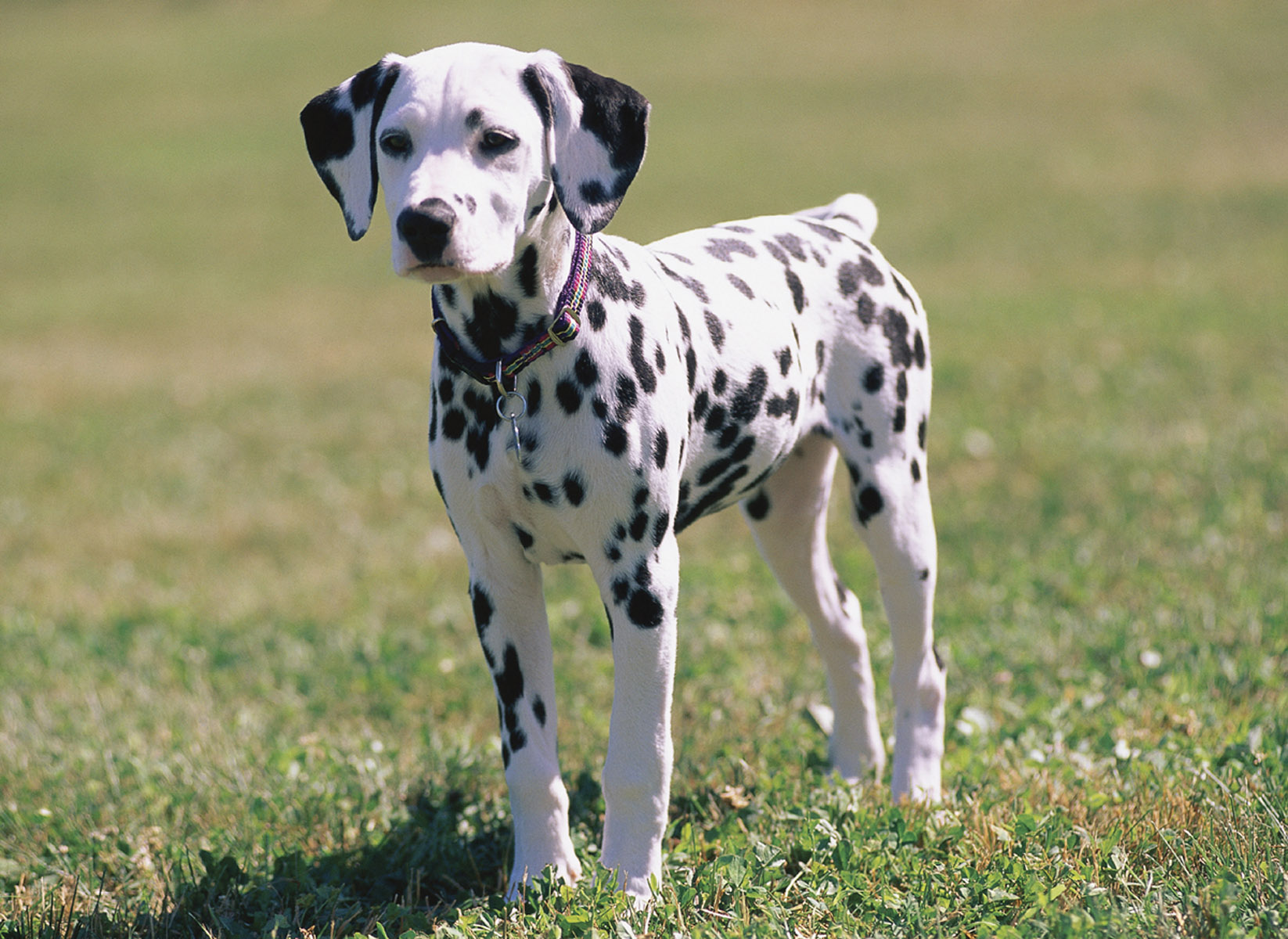 Dalmatian pictures, information, training, grooming and ...