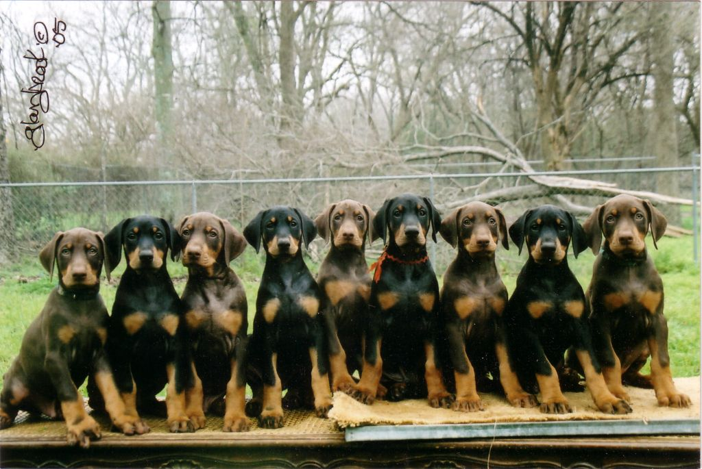 Doberman Pinscher pictures, information, training, grooming and ...