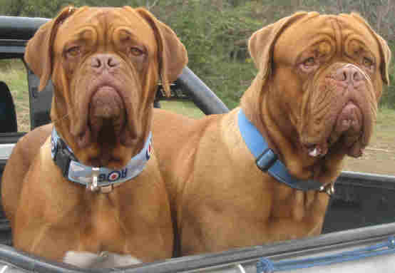 Dogue de Bordeaux older