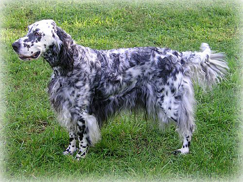 Beautiful male English Setter dog running in the park