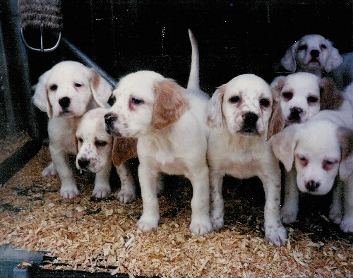 english_setter_puppies