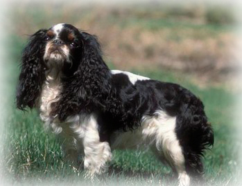 Englsih_Toy_Spaniel_Dog.jpg