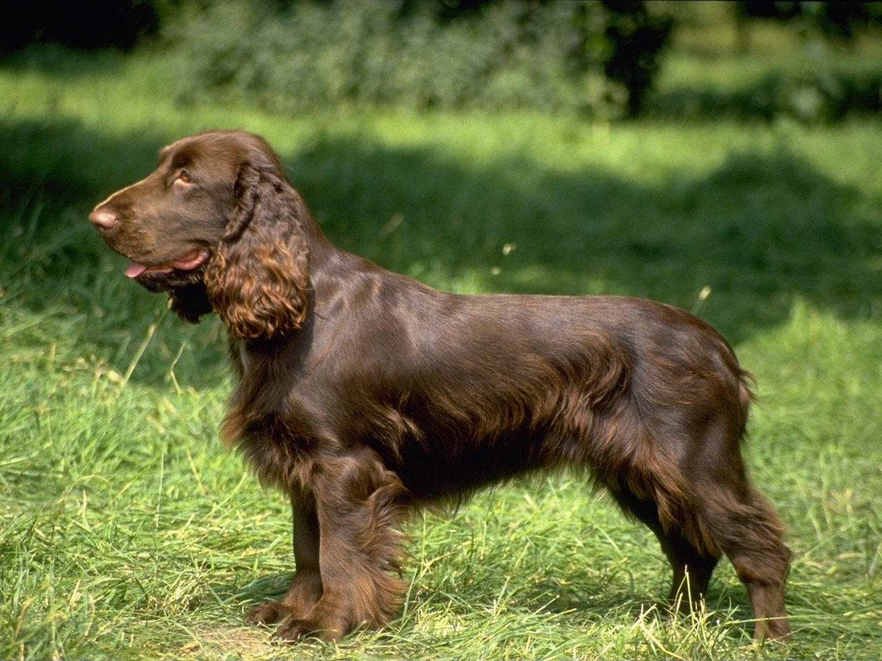Field Spaniel pictures, information, training, grooming and puppies.