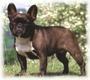 French_Bulldog_Dog