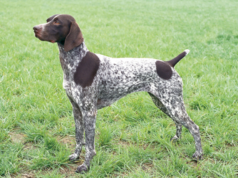 German Shorthaired Pointer pictures, information, training, grooming ... German Wirehaired Pointer Training Videos