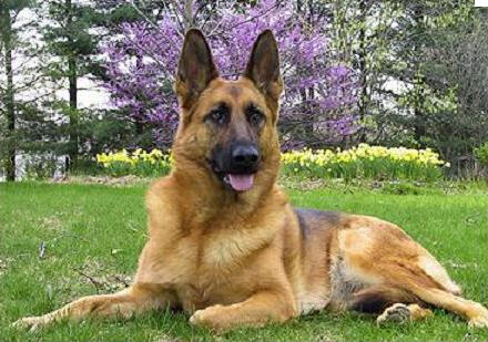 German Shepherd Dog pictures, information, training, grooming and ...