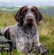 German_Wirehaired_Pointer_Older.jpg