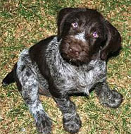 German_Wirehaired_Pointer_Puppy.jpg