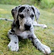 http://dogbreedsinfo.org/images/Great_Dane_Puppy.jpg