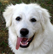 Great_Pyrenees_Middle_Aged.jpg