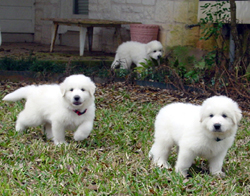 Great_Pyrenees_Puppies.jpg