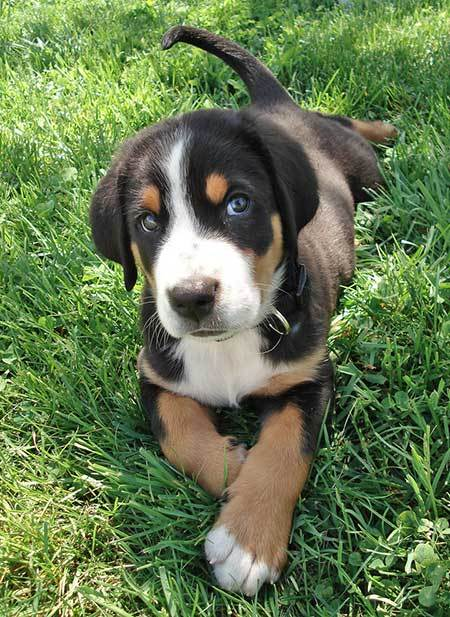 Greater Swiss Mountain Dog Puppy Greater Swiss Mountain Dog