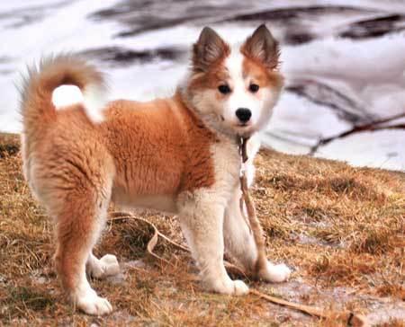 Icelandic Sheepdog Pup...