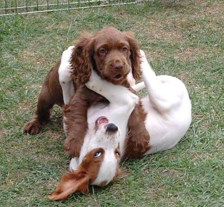Irish Red and White Setter puppies