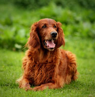 Irish_Setter_Middle_Aged.jpg