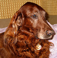 Irish_Setter_Older.jpg