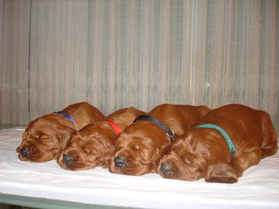 Irish_Setter_Puppies.jpg