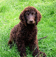 Irish_Water_Spaniel_Puppy.jpg