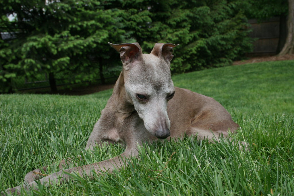 Dog Breed Information The Greyhound | Dog Breeds Picture