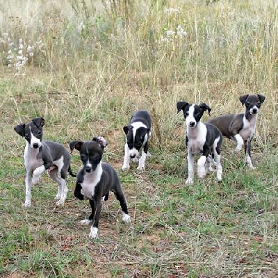 Greyhound Puppies on Italian Greyhound Puppies Jpg